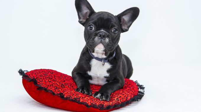 French Bulldogs In The News