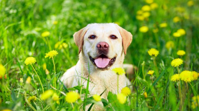 6 Common Illnesses To Watch For In Your Labrador Retriever