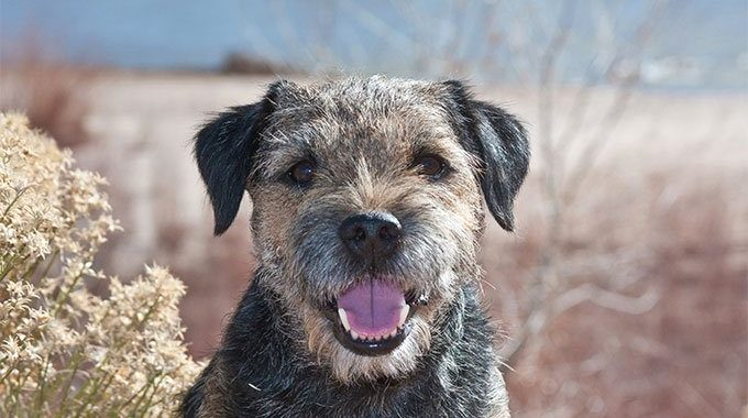 All About Border Terriers